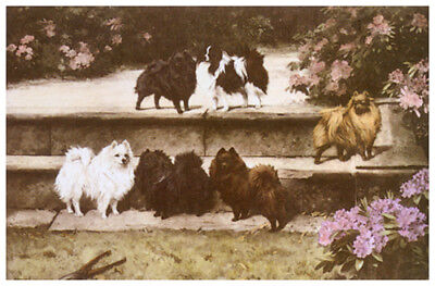 POMERANIAN SPITZ DOG FINE ART PRINT ENGRAVING by WARDLE