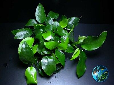 Anubias Eye x2 # Live aquarium plant fish tank