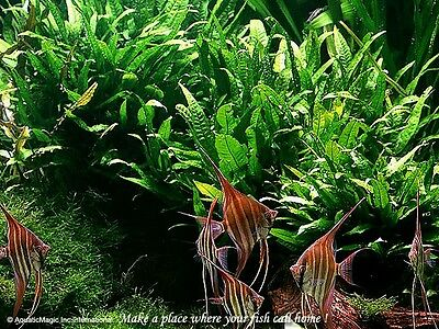 Java Fern# Live aquarium plant fish tank