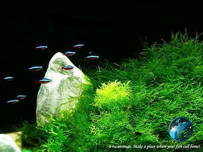 Java Moss # Live aquarium plant fish tank