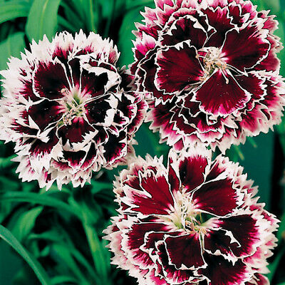 Velvet N Lace Dianthus purple & white annual 40+ seeds