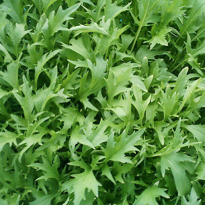 Vegetable Mizuna Appx 500 seeds Oriental