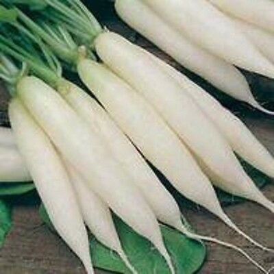 Radish Long white Icicle Appx 200 seeds * Free P&P *