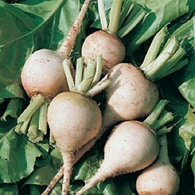Vegetable Beetroot Albina Ice 100 seeds