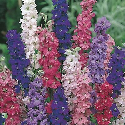 Flower Larkspur Giant Imperial Mix 100 seeds Annual Delphinium consolida