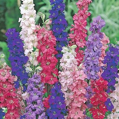 Flower Larkspur Giant Imperial mix appx 700 seeds annual Delphinium consolida