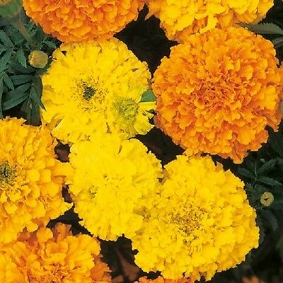 Marigold Crackerjack - African type  Appx 300 seeds
