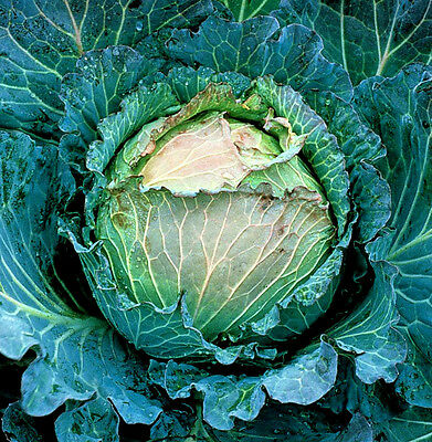 Vegetable Cabbage January King 800 seeds