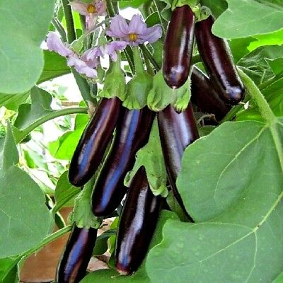 Vegetable Aubergine Long Purple Appx 300 seeds  1 Gramme  Egg Plant
