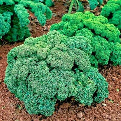 Vegetable Borecole / Kale Dwarf Green Curled Appx 3000 seeds