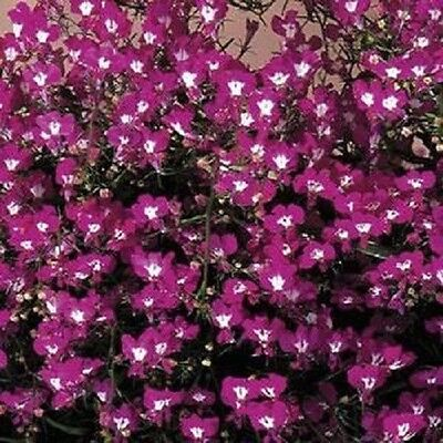 Lobelia Riviera Rose - Appx 3000 seeds - Bedding - Trailing Variety - Annuals