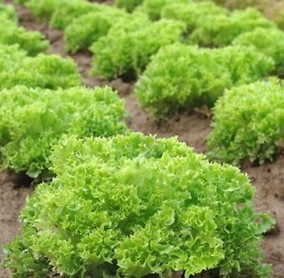 Vegetable Lettuce Salad Bowl Mix -Red and Green Min 2000 seeds