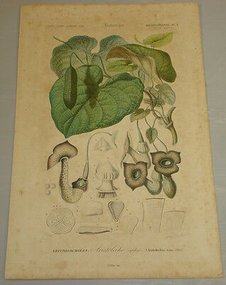 1849 Antique Color Print/FLOWERING PLANT/Natural History, by D'Orbigny