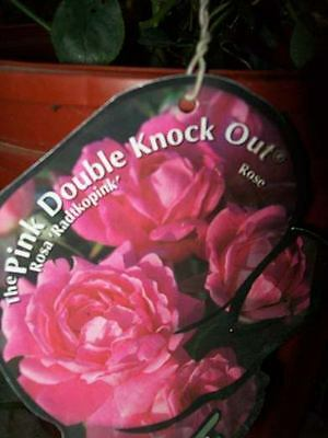 Double Knock Out®  Red Rose 1 Gal Live Plants Flower Plant Disease Resist Roses