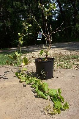 Red Flame Seedless Grape 1 Gal. Plant Vinyards Gardens Buy Healthy Grapes Plants
