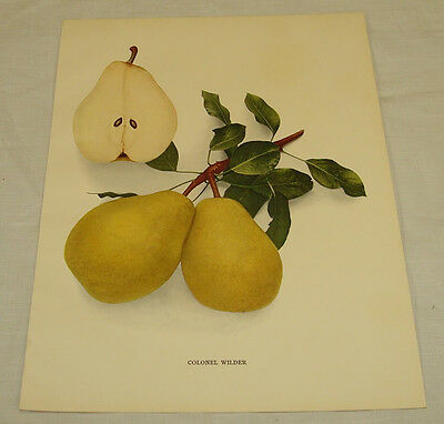 1921 Antique Print/COLONEL WILDER/From Pears of New York, by Hedrick