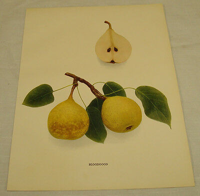 1921 Antique Print/BLOODGOOD/From Pears of New York, by Hedrick