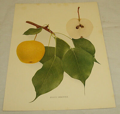 1921 Antique Print/PYRUS SEROTINA/From Pears of New York, by Hedrick