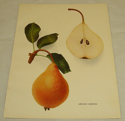 1921 Antique Print/LINCOLN CORELESS/From Pears of New York, by Hedrick