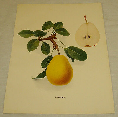 1921 Antique Print/LAWRENCE/From Pears of New York, by Hedrick