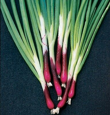 Welsh Onion Red 'Allium fistulosum' Appx 100 seeds - Herbs