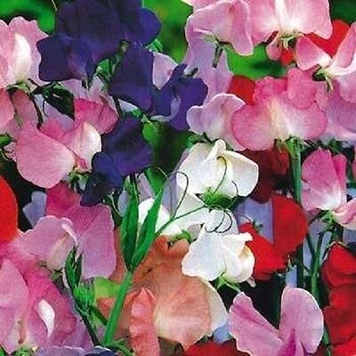 Sweet Pea Royal Family Mixed - 150 seeds - Annuals & Biennials