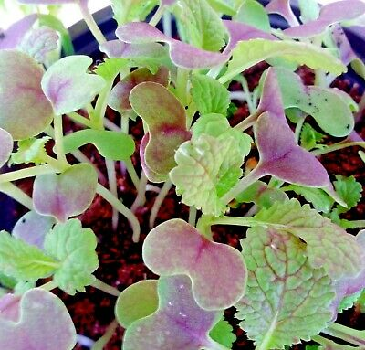 Vegetable Mustard Red Giant appx 2,400 seeds Oriental