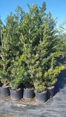Japanese Yew Tree Big Healthy 5 Gal. Plant Large Easy to Grow Landscaping Plants