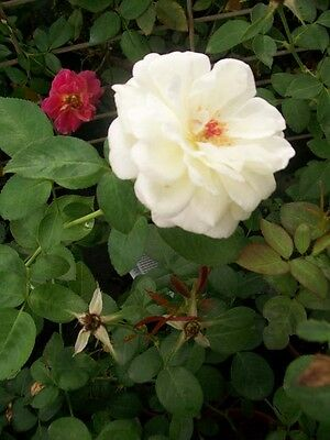 Sugar Moon White Roses 1 Gal. Live Plant Double Flower Fragrant Rose Bush Garden