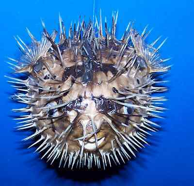 "PORCUPINE puffer BLOW FISH TAXIDERMY DRIED FISH 6""+"