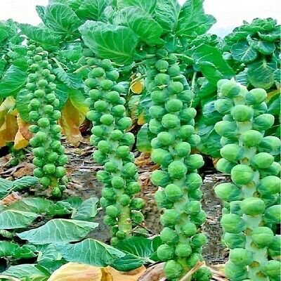 Vegetable Brussels Sprout Early Half Tall Appx 150 seeds