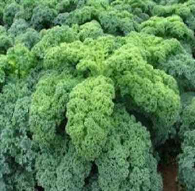Vegetable Borecole Kadet Kale Appx 450 seeds