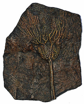 Well Detailed Scyphocrinus Crinoid