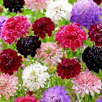 Scabious Tall Mixed - 200 seeds - Pincushion Flower