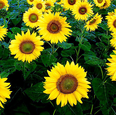 Sunflower Giant Yellow Single 300 seeds - Annual
