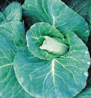 Vegetable Cabbage F1 Duncan 40 seeds
