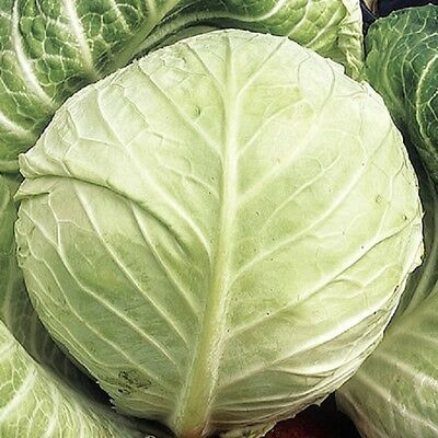 Vegetable Cabbage Primo II Appx 800 seeds