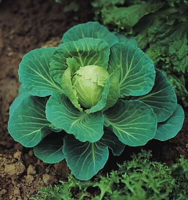 Vegetable Cabbage Golden Acre Appx 1200 seeds
