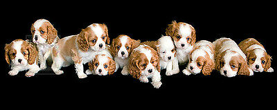 CAVALIER KING CHARLES SPANIEL ENGLISH TOY CKCS DOG ART PRINT - Puppies in a Row