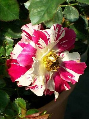 Fourth of July Climber Rose 2 Gal. Bush Live Nice Plants Plant Climbing Roses
