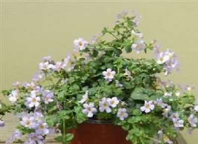 Flower - Bacopa blutopia - 20 Seed - Large Pack