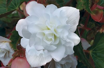 Flower - Begonia Supercascade F1 White - 10 Pelleted Seed