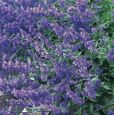 Flower - Grey Catmint - Nepeta mussinii - 1000 seeds - Large Packet