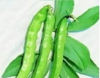Vegetable - Broad Bean - Imperial Long Pod - 1kg Seeds - Bulk