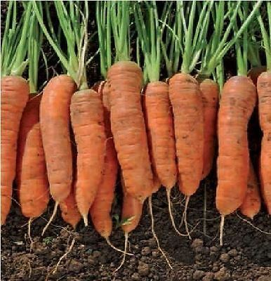 Vegetable - Carrot - Resistafly F1 - 3500 Seeds - Large