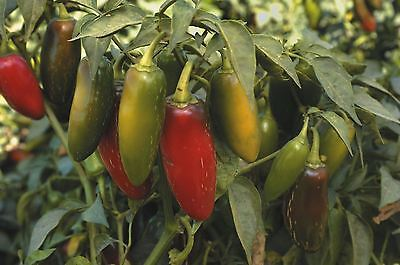 Vegetable - Pepper (Chilli) - Jalapeno - 200 Seeds