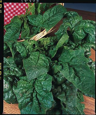 Vegetable - Spinach - Giant Winter - 1100 Seeds