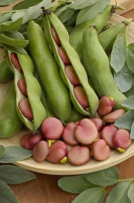 Vegetable - Broad Bean - Karmazyn - 40 Seeds
