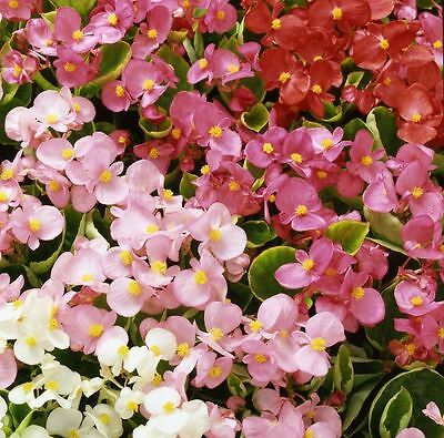Flower - Begonia semperflorens - Heaven Mixed F1 - 20 Pelleted Seed