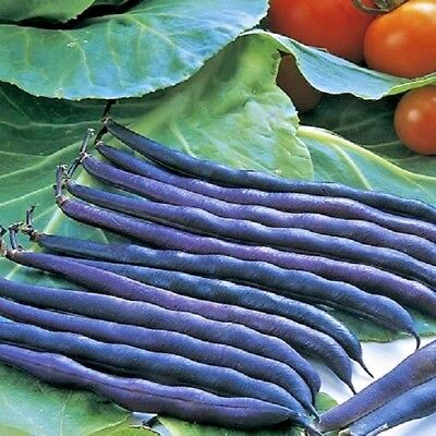 Vegetable - Dwarf French Bean Purple Queen 90 seeds *Free P&P*